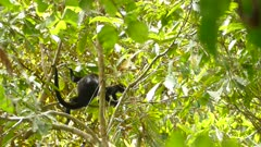 Healthy baby mantled howler monkey walks away from parent in lush jungle