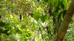 Stunning nature scene of Panama with group of monkeys in sunny jungle