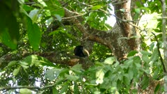 Single mantled howler monkey appears lonely after possibly being rejected