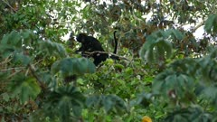 Territorial mantled howler monkey making loud howling noise with mouth