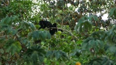 Stunning sound display of powerful noise from howler monkey in Panama