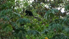 Mantled howler monkey atop the treetop canopy making famous loud noise