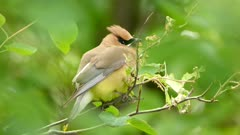 Astonishingly cute cedar waxwing bird perched and waiting for parent to return