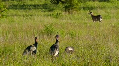 Abundance of wildlife portrayed in this nature scene with wild turkeys and deer