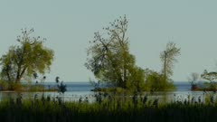 Cormoran birds kill trees and are invasive species on Lake Ontario in Canada