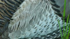 Extreme macro closeup shot of back and wing feathers of a wild turkey