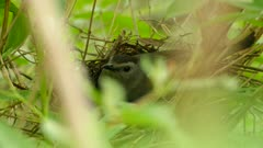 Parent grey catbird carefully brooding while watching for possible threats