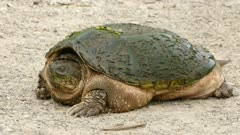 Stunning prehistoric looking beast of a huge specimen of snapping turtle