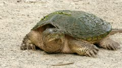 Old giant snapping turtle moving around on trail dirt showing skin and carapace