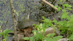 Large snapping turtle tumbles down logs and enters dark waters of a lake