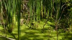 Zoom out shot exposing bird's lush natural habitat of a humid marsh wetland