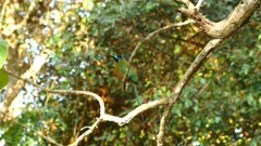 Calm  blue headed Bee-eater perch in tropical woods side view