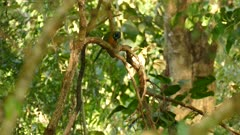 Tropical lonely bee-eater clean its feathers distance view front