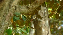 Small stripy bird sit on thin tropical wood branch back view
