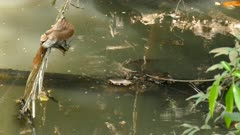 Tiny dwarf caiman crocodiles under simmering water awaiting