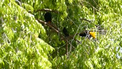 Yellow Rumped Cacique in a tree; perfect natural colourplay outdoors habitat low angle