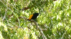 Yellow Rumped Cacique in a tree; strong hold on branch under heavy windy day