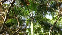 Giant tropical palm trunk grow wide outdoors tilt