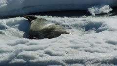 Weddell seals on sea ice in Antarctica
