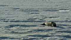 Weddell seal rubs flipper and looks around while lying on sea ice in Antarctica