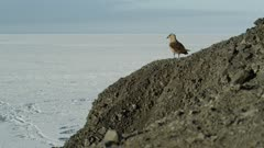 South Polar Skua perched on rocks over looking sea ice of Antarctica