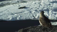 South Polar Skua perched on rocks and flies away over looking sea ice of Antarctica