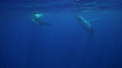 Two adult humpback whale at the surface in clear water