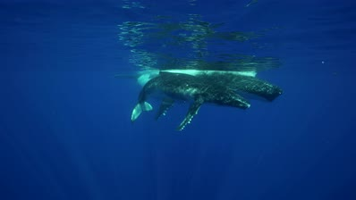 humpback whales, mother and baby at the surface in clear water