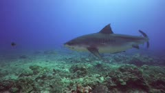 tiger shark approaches, grey reef sharks and black tip sharks around