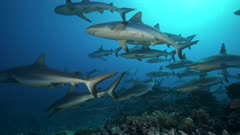 grey reef sharks getting close in backlight situation - mating season