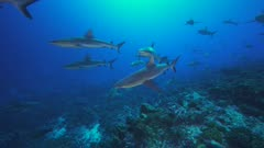 grey reef sharks approach in backlight -mating season