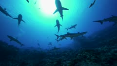 grey reef sharks in backlight swimming through the sun
