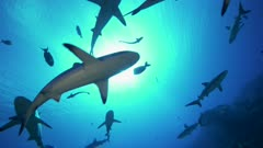 grey reef sharks crossing the sun