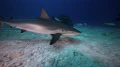 close encounter with caibbean reef sharks