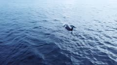 Drone shot of Orca, killer whales hunting in the fjords of Norway