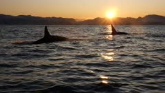 Orca, killer whales hunting in the fjords of Norway in winter