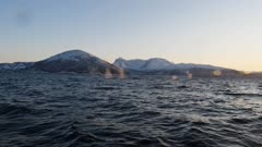 Humpback  whales hunting in the fjords of Norway in winter