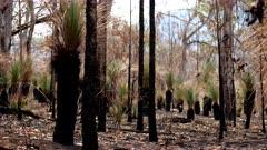 Bushfire aftermath, Grass Trees, fire tolerant