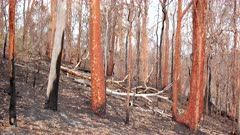 Bushfire aftermath, Burnt Red & Black Eucalypt Trees, Red Sunset