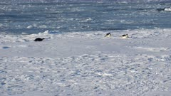 Emperor Penguins, Tobagganing, Sea Ice, Ross Sea