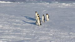 Emperor Penguins, Sea Ice, Ross Sea