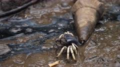Robust / Dussumier's Fiddler Crab, Portrait, Mangrove, Port Douglas, QLD