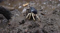 Fiddler Crabs, territorial interaction sequence, Mangrove, Port Douglas, QLD