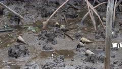 Whelk, Feeding in Mud, Telescopium sp, Mangrove, Port Douglas, QLD
