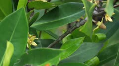 Mangrove Flowers, Close, Port Douglas, QLD