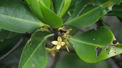 Mangrove Flowers, Close, Port Douglas, QLD
