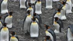 King Penguins, Incubating Eggs, Social Distancing Behaviour, South Georgia Island