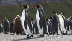 King Penguins, Couple Ambling, Gender non-specific, Gold Harbour, South Georgia Island. fresh material from rediscovered rushes