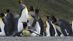 King Penguins, Incubating Eggs, Squabble Behaviour, He was about to mate with Her but got poked in the back, Funny, Gold Harbour, South Georgia Island. fresh material from rediscovered rushes