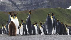 King Penguins, Pushing & Shoving, Display Behaviour, Funny, Gold Harbour, South Georgia Island, fresh material from rediscovered rushes
